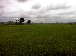 Fields of Ubud