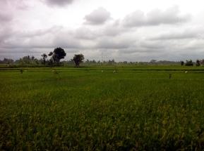 Fields of Ubud